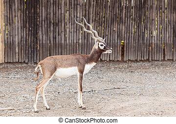 black buck walking - Twisted spiral horn black buck walking...