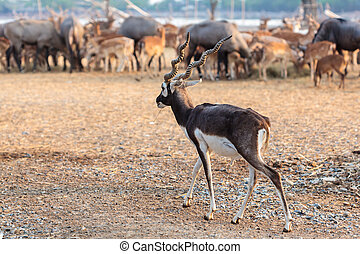 black buck walking - Twisted spiral horn black buck walking...