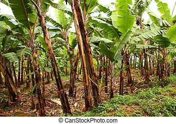 Banana Field - A field of banana trees on a farm