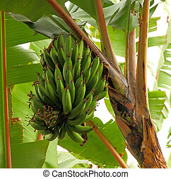 Bananas hanging in a tree - A large group of bananas hanging...