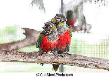 Two crimson bellied conure on perch