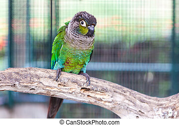 Green cheek conure standing on perch