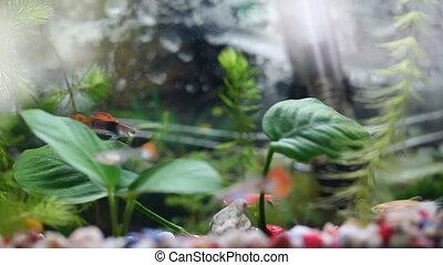 Guppy fishes