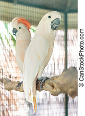 Moluccan cockatoo - Two moluccan cockatoo standing on perch