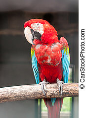 Colorful green winged macaw on perch