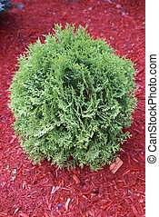 Cedar Tree - A small cedar tree planted in the garden