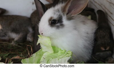 White bunny closeup - White bunny with brown spots eating a...
