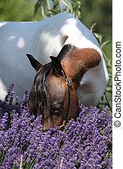 Mottle miniature horse in purple flowers - Mottle american...