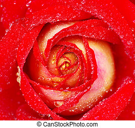 red rose - macro of red rose with water drops
