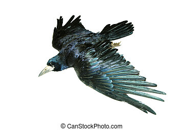 crow -  crow isolated on a white background