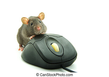 computer mouse - Rat and a computer mouse on white...