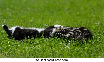 Playing kittens - Two small kittens are playing with each...