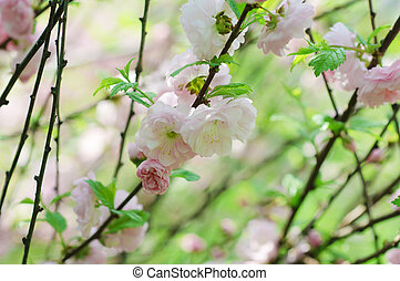 Blossoming of sakura flowers, shallow depth of field