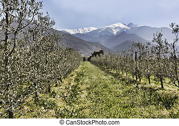 Olive trees in rows beneath the snowy peaks - Catalan...