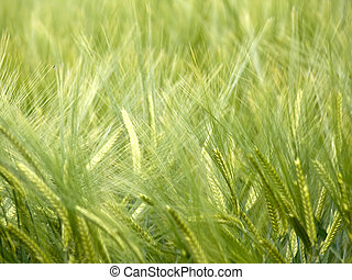 Green wheat field - Close up shot of a green wheat field at...