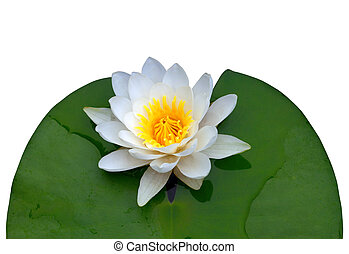 Victoria amazonica, water lilie Isolated on black white