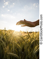 Male hand over beautiful wheat field - Male hand over...