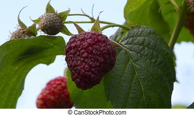 raspberry closeup healthy