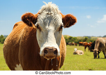 Hereford Cow - Hereford beef cows are mostly quiet and...