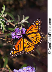 Viceroy butterfly Limenitis archippus feeding on purple...