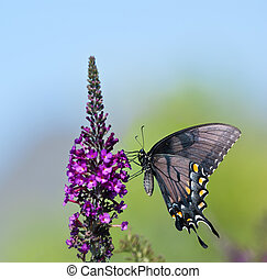 Eastern Tiger Swallowtail butterfly (Papilio glaucus)...