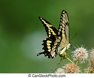 Giant Swallowtail butterfly (Papilio cresphontes) feeding on...