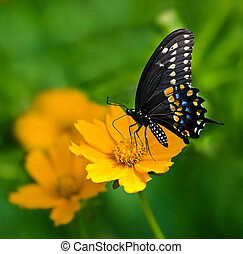 Black Swallowtail butterfly (Papilio polyxenes) feeding on...