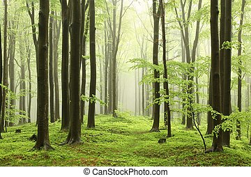 Spring beech forest in the mountains of the southern Polish....