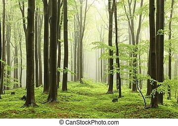 Haya, primavera, bosque
