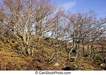 Gnarled Trees - Gnarled trees without any leaves against a...