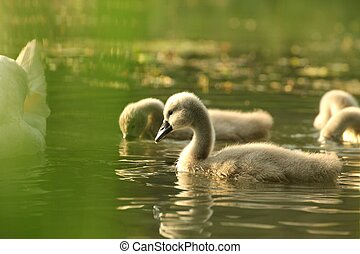 Young swans in a forest pond