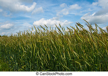 Grain field under a blue sky with clouds