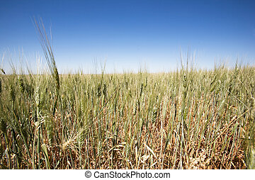 Wheat Field Landscape - A close up of a wheat field against...