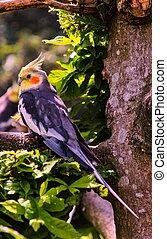 Cockatiel - The Cockatiel (Nymphicus hollandicus), also...
