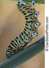 chenille du Machaon - famille Papilionidae - chenille du...