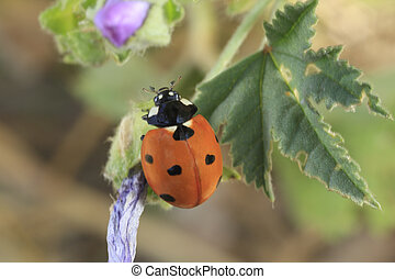 Coccinelle à sept points - Coccinellidae à sept points ou...