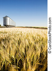 Prairie Harvest - A wheat field in focus with grain bins in...