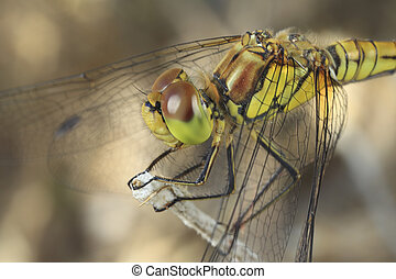 anisoptère,  libellule