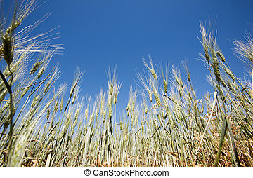 Wheat Detail - Wheat in a field against a clear blue sky...