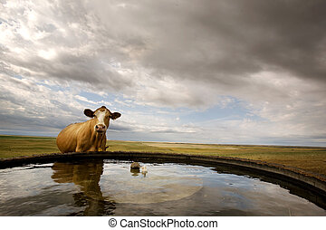 Water Bowl - A cow at the watering bowl on the prairie