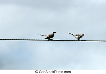 Plain Capped Ground Tyrant on Wire - A pair of Plain Capped...