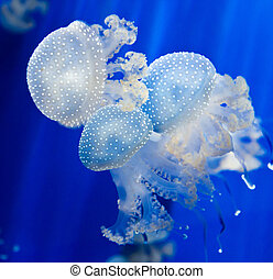 Group of light blue jellyfish