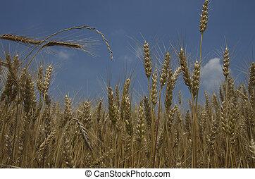 Grain Field - Grain field in Lancaster County