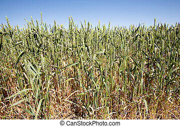Wheat Close UP - Wheat in a field against a clear blue sky...