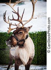 Randy the Reindeer - Santa left one behind.