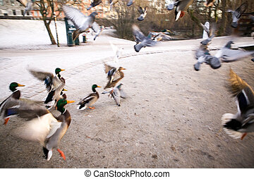Frantic Ducks - A group of mallard ducks fly up in a quick...