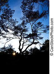 Pine Tree Silhouette - A group of gnarled pine trees against...