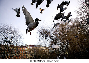 Birds in Flight Sihlouette - Mallard ducks in flight over...