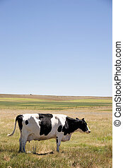 Cow Swatting Flies - A cow standing swatting flies with its...