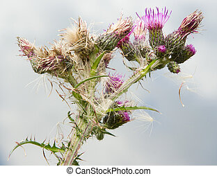 Thistle - A thistle on the moor